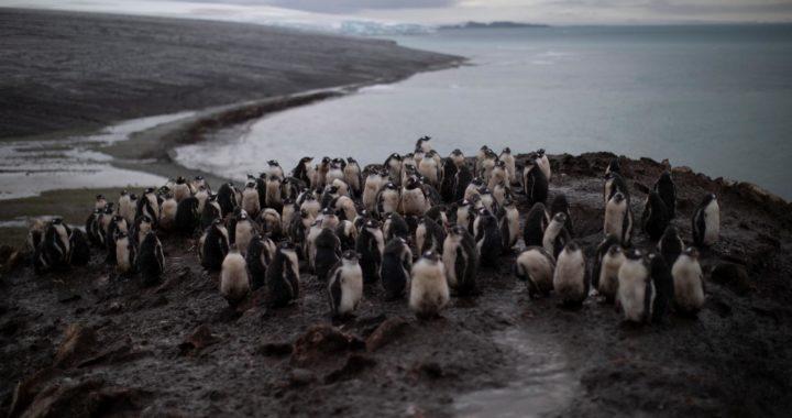 Антарктических пингвинов вытесняют папуанские — за 40 лет их стало в шесть раз больше. Они едят все подряд и лучше приспособились к глобальному потеплению